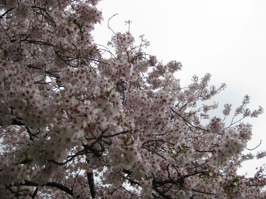 cherrytrees-011