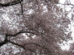 cherrytrees-014